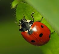 Children's Ladybug Protection