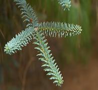 Ethereal Cedar Core