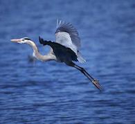 Great Blue Heron Medicine Empowerment