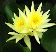 Lotus Healer