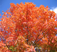 Magick & Beauty of the Maple